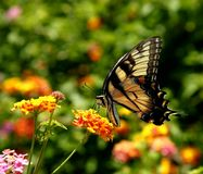 Farfalla gialla orientale di coda di rondine della tigre immagine stock libera da diritti