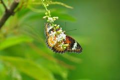 Farfalla gialla rossa Fotografie Stock