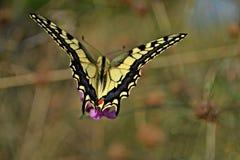 Farfalla gialla sopra un campo di erba fotografia stock