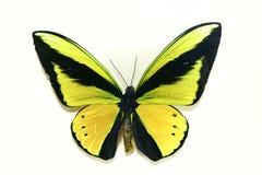 Farfalla gialla su priorità bassa bianca Immagine Stock