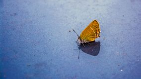 Farfalla gialla su un fondo grigio fotografia stock