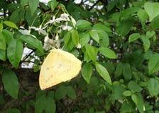 Farfalla gialla sui fiori selvaggi della prugna dell'acqua Fotografia Stock Libera da Diritti