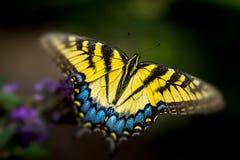 Farfalla gialla sul fiore Fotografia Stock Libera da Diritti