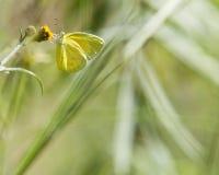 Farfalla gialla sul fiore Fotografie Stock Libere da Diritti