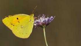 Farfalla gialla sul fiore viola Fotografia Stock