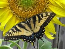 Farfalla gialla sul girasole Fotografia Stock Libera da Diritti
