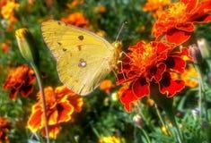 Farfalla gialla sul tagete del fiore Immagine Stock Libera da Diritti