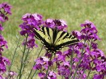 Farfalla gialla sveglia graziosa di coda di rondine della tigre sulla fine porpora del fiore su, 2018 fotografie stock libere da diritti