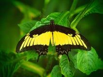 Farfalla gialla tropicale di Heraclides Fondo di macro dell'insetto Fotografia Stock Libera da Diritti