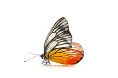 Farfalla giallo arancione Immagini Stock Libere da Diritti