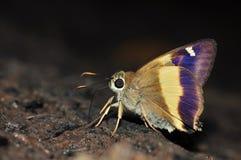 farfalla Giallo-legata del punteruolo Fotografie Stock Libere da Diritti