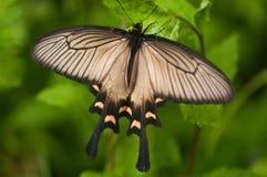 Farfalla giapponese Fotografia Stock Libera da Diritti