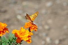 Farfalla giapponese Immagini Stock
