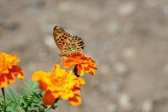 Farfalla giapponese Immagine Stock