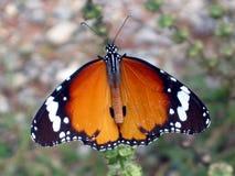 Farfalla gigante immagine stock