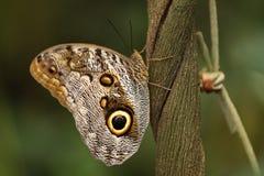 Farfalla gigante del gufo Fotografia Stock Libera da Diritti
