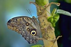 Farfalla gigante del gufo Fotografie Stock