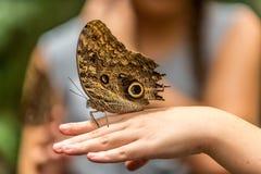 Farfalla gigante del gufo Fotografia Stock