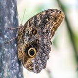 Farfalla gigante del gufo Immagini Stock