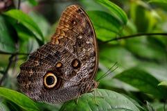 Farfalla gigante del gufo, aka, eurilochus di Caligo fotografie stock libere da diritti