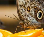 Farfalla gigante del gufo della foresta che beve da un'arancia Immagine Stock Libera da Diritti