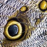 Farfalla gigante del gufo - memnon di Caligo fotografie stock libere da diritti