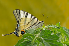 Farfalla gigante di coda di rondine sulla pianta verde Fotografia Stock