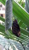 Farfalla gigante orientale di occhi rossi fotografie stock libere da diritti