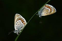 farfalla Gossamer-alata Fotografia Stock