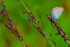 farfalla Gossamer-alata Fotografie Stock Libere da Diritti