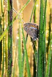 farfalla Gossamer-alata Fotografia Stock Libera da Diritti