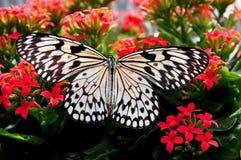 Farfalla graziosa della crisalide dell'albero fotografia stock libera da diritti