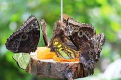 Farfalla in Grevenmacher Fotografia Stock