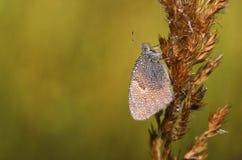 Farfalla grigia fotografia stock libera da diritti