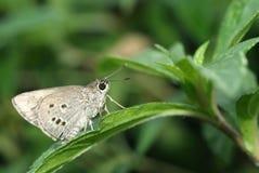 Farfalla grigia Fotografie Stock Libere da Diritti