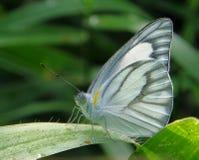 Farfalla grigia Immagini Stock Libere da Diritti