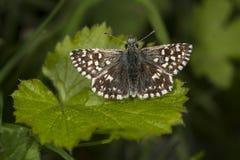Farfalla grigia del capitano Fotografia Stock
