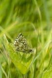 Farfalla grigia del capitano, malvae di Pyrgus, riposanti su una foglia del trifoglio Fotografia Stock Libera da Diritti