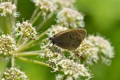 Farfalla grigia del velluto con gli occhi sulle ali Fotografia Stock Libera da Diritti