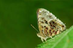 Farfalla grigia della canutiglia Immagine Stock