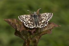 Farfalla grigia minuscola del capitano sulla foglia della mora Immagini Stock