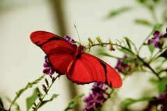 Farfalla heliconian arancio legata Flambeau immagini stock libere da diritti