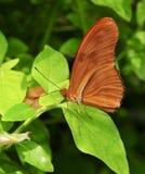 Farfalla heliconian arancio notevole di Julia su una foglia Immagine Stock Libera da Diritti