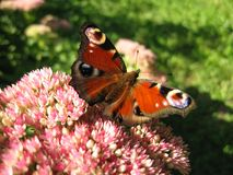 Farfalla II Immagini Stock Libere da Diritti