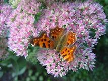 Farfalla III Fotografie Stock Libere da Diritti