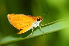 Farfalla Illinois del capitano Fotografie Stock