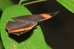 Farfalla (inachus di Kallima) Fotografie Stock Libere da Diritti