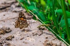 Farfalla Indah Fotografia Stock