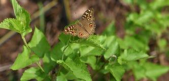 Farfalla indiana Immagine Stock