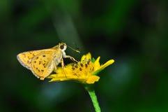 Farfalla indiana del dardo Immagine Stock Libera da Diritti